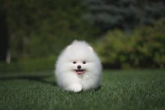 Little beautiful funny white dog German spitz puppy on green grass runs plays and sits. Little beautiful funny white dog German spitz baby face puppy on green stock images
