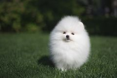 Little beautiful funny white dog German spitz puppy on green grass runs plays and sits. Little beautiful funny white dog German spitz baby face puppy on green royalty free stock photo