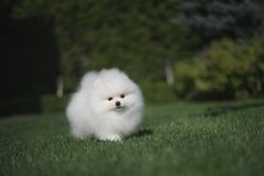 Little beautiful funny white dog German spitz puppy on green grass runs plays and sits. Little beautiful funny white dog German spitz baby face puppy on green royalty free stock photography