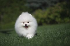 Little beautiful funny white dog German spitz puppy on green grass runs plays and sits. Little beautiful funny white dog German spitz baby face puppy on green stock photos
