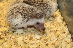 Little beautiful hedgehogs Royalty Free Stock Photography