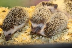 Little beautiful hedgehogs Stock Photos