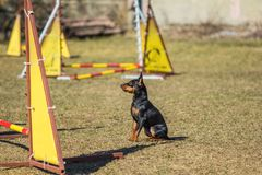 Beautiful obedient Pincher Pinscher sitting on the grass. Little beautiful Pincher Pinscher sitting in front of an obstacle course Royalty Free Stock Photo