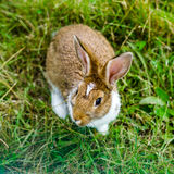 Little beautiful rabbit on green grass, farm mammals Stock Photos