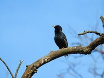 Little beautiful starling bird on branch, Lithuania Stock Photo