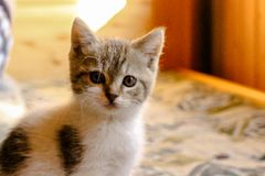 Little beautiful tricolor kitten. Beautiful big eyes stock photography