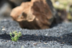 A little beauty on the rocks. Very small cactus on a rock garden Royalty Free Stock Photo