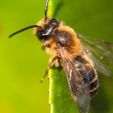 Little Bee. A close-up of a bee sitting on the edge of a leaf royalty free stock images