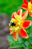 Little bee on beautiful red and yellow flower Royalty Free Stock Photo