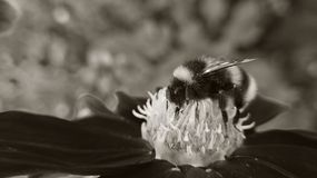 Little bee and big flower Royalty Free Stock Photo