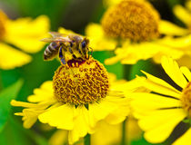 Little bee collect nectar on yellow flower Stock Photos