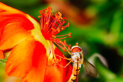 Little bee collecting pollen from a red flower in garden Royalty Free Stock Images