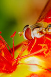 Little bee collecting pollen from a red flower in garden Stock Photo