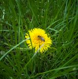 Little bee on dandelion. Bee collects pollen from a yellow dandelion on a beautiful nature stock photo