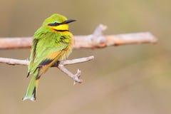 Little Bee-eater Stock Photos
