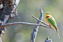 Little Bee Eater Royalty Free Stock Photography