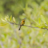 Little Bee-eater. Wildlife Little Bee-eater (Merops pusillus) with a fly in Gambia. West Africa Stock Photos