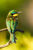 Little Bee Eater Royalty Free Stock Photo