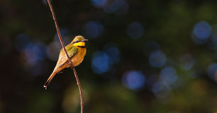 Little Bee Eater Bird. Perched on a branch Stock Photo