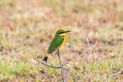 Little bee eater Royalty Free Stock Image