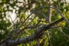 Little bee-eater on branch of dead tree stock photography