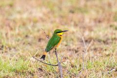 Little bee-eater on a branch Royalty Free Stock Photos