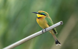 Little Bee eater, Chobe River, Botswana Stock Photography