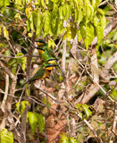 Little Bee-eater family Stock Photos