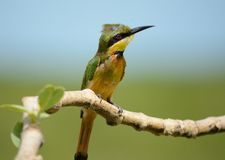 Little bee-eater Royalty Free Stock Photos