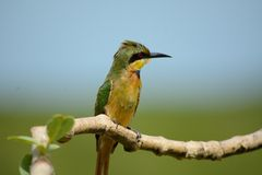 Little bee-eater Royalty Free Stock Image