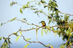 Little bee-eater and his pray Royalty Free Stock Images