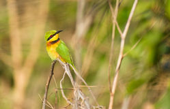Little Bee-eater looking around Royalty Free Stock Photo