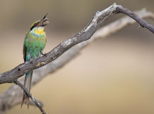 Little Bee Eater Lunch Stock Image