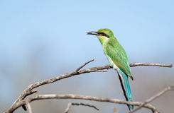 Little Bee Eater Lunch Royalty Free Stock Photo