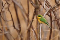 Little Bee-Eater (Merops pusillus) stock photo