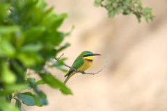 Little bee-eater (Merops pusillus) Stock Images