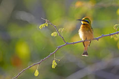Little bee-eater (Merops pusillus) Stock Image