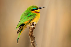 Little Bee-eater, Merops pusillus, detail of exotic green and yellow african bird with red eye in the nature habitat, Chobe Nation Stock Images