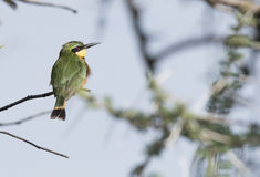 Little Bee-eater Merops pusillus Perched on a Branch Royalty Free Stock Photos