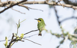 Little Bee-eater Merops pusillus Perched on a Branch Stock Image