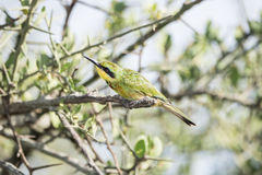 Little Bee-eater Merops pusillus Perched on a Branch Stock Images