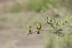 Little Bee-eater Merops pusillus Perched on a Branch Stock Photo