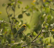 Little bee-eater, Merops pusillus, perched on a branch Stock Images