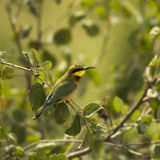 Little bee-eater, Merops pusillus, perched on a branch Stock Photography