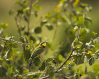 Little bee-eater, Merops pusillus, perched on a branch Stock Photos
