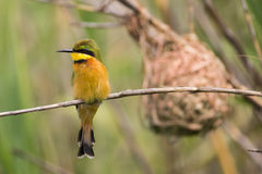 Little Bee-eater (Merops pusillus) perched on reed Royalty Free Stock Photography