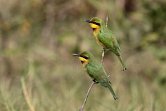 Little bee-eater, Merops pusillus Royalty Free Stock Image