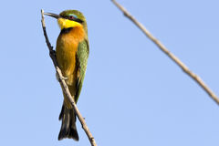 Little Bee Eater. In the Moremi game reserve in Botswana Royalty Free Stock Photo