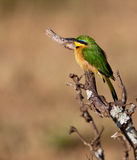 Little Bee-eater in the morning sun Royalty Free Stock Photography