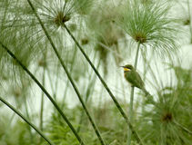 Little Bee-eater and Papyrus plants Stock Photo